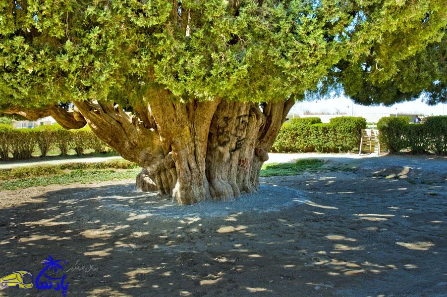 سرو ابرکوه که در شهر ابرکوه (ابرقوه) قرار دارد یکی از پیرترین موجودات زنده دنیا است. محیط تنهٔ این درخت در روی زمین یازده و نیم متر است و بلندای آن بین ۲۵ تا ۲۸ متر برآورد شدهاست.