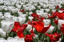 اوتاوا - جشنواره گل های لاله کانادا